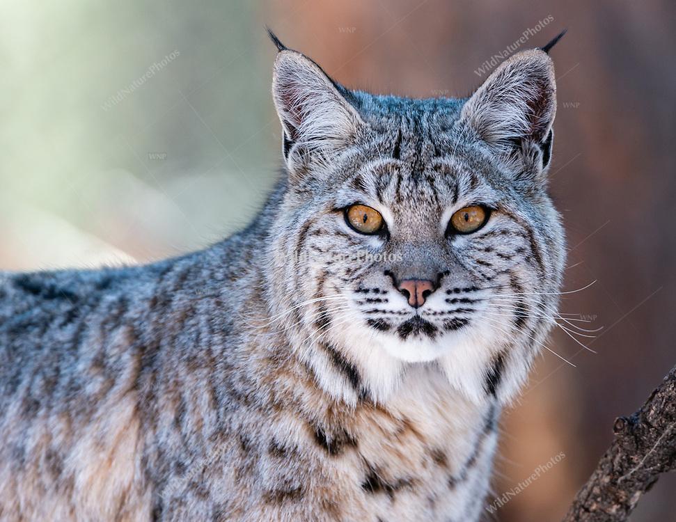 Bobcat (Lynx rufus), in December in Arizona.