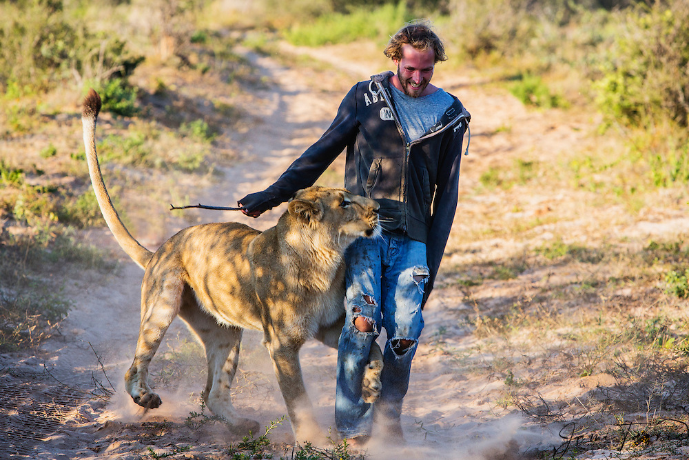 Valentin Gruener with a lioness he hand raised from a small dying cub to a healthy adult playing together,Grasslands Private Reserve, Kalahari Desert, Botswana, Africa