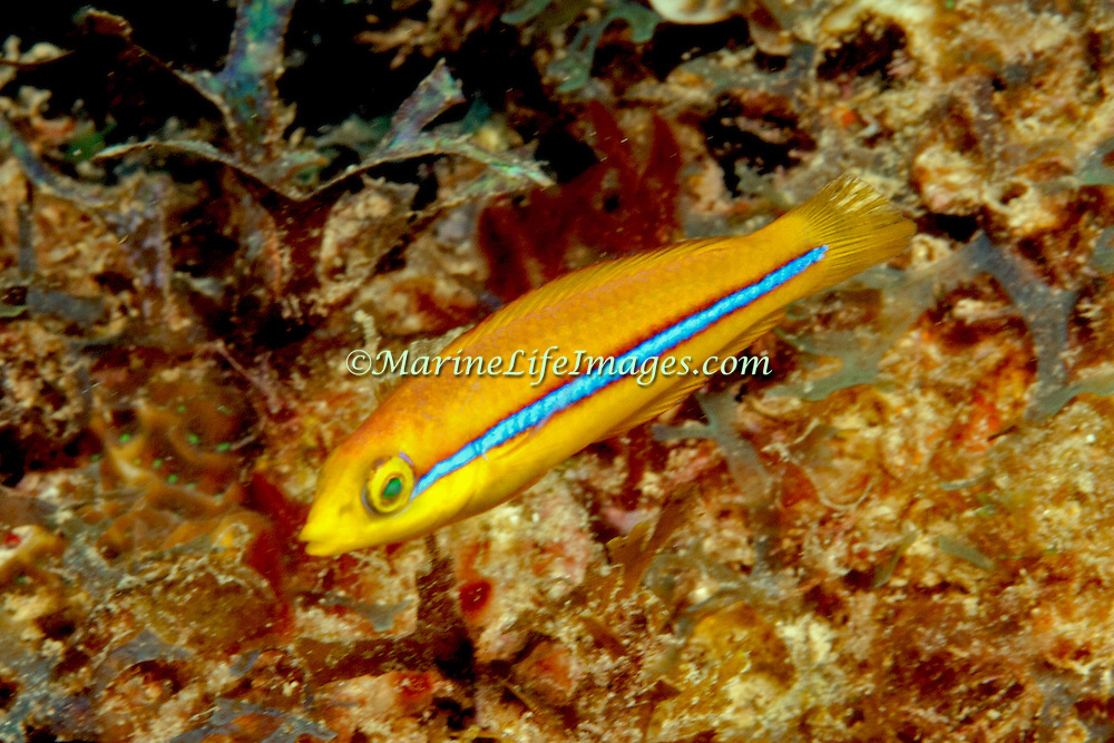 Yellowhead Wrasse consatantly swim about reefs in Tropical West Pacific; picture taken Panama near San Blas Islands.