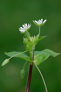 GREATER CHICKWEED Stellaria neglecta (Caryophyllaceae) Height to 50cm. Annual or short-lived perennial of damp, shady ground. Similar to Common Chickweed but more robust. Stems are hairy in lines on alternate sides between leaf nodes. FLOWERS are white, 5-petalled and 10-12mm across (Apr-Jul); note the 10 stamens. FRUITS are capsules. LEAVES are oval and in opposite pairs. STATUS-Local.
