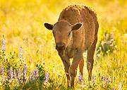 Bison calf on the National Bison Range, Montana.
