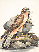 Montague's harrier (Circus pygargus) This migratory bird of prey is found in a middle-latitude band of predominantly temperate climates, but also in Mediterranean, and boreal zones. 18th century watercolor painting by Elizabeth Gwillim. Lady Elizabeth Symonds Gwillim (21 April 1763 – 21 December 1807) was an artist married to Sir Henry Gwillim, Puisne Judge at the Madras high court until 1808. Lady Gwillim painted a series of about 200 watercolours of Indian birds. Produced about 20 years before John James Audubon, her work has been acclaimed for its accuracy and natural postures as they were drawn from observations of the birds in life. She also painted fishes and flowers. McGill University Library and Archives