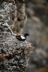 Black Guillemot (Cepphus grylle) in bird cliff, Svalbard, Norway