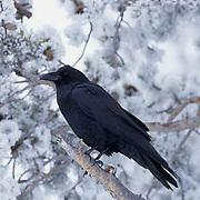Common Raven, (Corvus corax) Yellowstone National Park.
