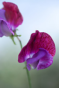 Lathyrus odoratus 'Matucana' - sweet pea
