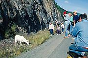 Alaska. Tourists take pictures of Dall Sheep (Ovis dalli) along roadside.