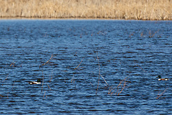 Northern Shoveler (Spatula Clypeata) floating on blue water in late winter at Emiquon National Wildlife Refuge near Lewistown in Fulton Co Illinois