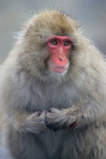 Snow Monkey or Japanese Red-faced Macaque, (Macaca fuscata) Portrait. Japan.