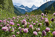 Pink clover flowers bloom along the road in Glacier National Park, British Columbia, Canada. The Columbia Mountains are a range west of the Rocky Mountain Trench.