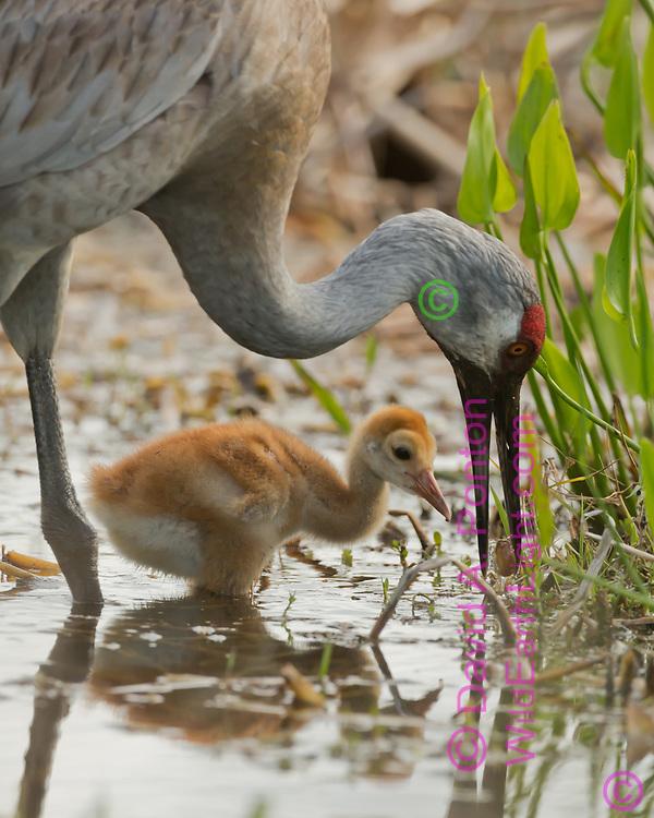 Sandhill crane with colt foraging in wetland pool, Florida, © David A. Ponton