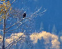 Bald Eagle (Haliaeetus leucocephalus. Yellowstone National Park, Wyoming. Image taken with a Nikon D2xs camera and 200-400 mm f/4 VR lens with a 2.0x teleconverter.
