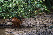 Red Brocket Deer (Mazama americana) Male at saltlick<br /> Yasuni National Park, Amazon Rainforest<br /> ECUADOR. South America<br /> HABITAT & RANGE: Forests of South America from northern Argentina to Colombia and the Guianas. Also Trinidad. Extinct from Tobago.