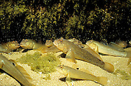 Round Goby<br /> <br /> ENGBRETSON UNDERWATER PHOTO