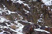 LADAKH, INDIA: Sitting adult male snow leopard (unica unica) yawns in Hemis National Park.