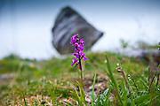 Native wild flora Fragrant Orchid flower, Gymnadenea conopsea, Orchidaceae, and boulder The Burren, County Clare, Ireland