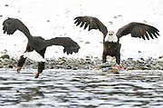 A bald eagle prepares to protect its salmon catch from another eagle, along the banks of the Chilkat River, Chilkat Bald Eagle Preserve, Haines, Alaska
