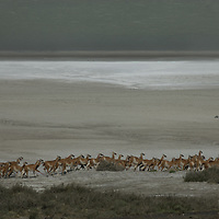 A herd of guanacos stampedes past Lago Amarga near Torres del Paine National Park in Patagonia, Chile.