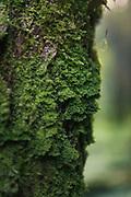"The forked veilwort (Metzgeria furcata) - a liverwort moss growing on the tree bark in thick green blanket, Nature reserve ""Ruņupes ieleja"", Latvia Ⓒ Davis Ulands | davisulands.com"