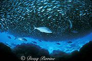amberjacks, Seriola dumerili ( Kahala ), attack school of bigeye scad, Selar crumenophthalmus, ( akule ), Honokohau, Kona, Hawaii, USA ( Pacific Ocean )