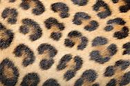 """Leopard (Panthera pardus), close-up coat, The big cats is native to Africa and extremely rare in Asia. The basic color of the leopard fur ranges from pale yellow to fawn to ocher. The characteristic of the basic color dependents on habitat. Parts of the face, throat, leg inside, chest and belly fur is white or at least more brightly colored than the rest of the fur. The length and thickness of fur depends on climatic conditions. Leopards having spots not in the proper sense, but rather there are small rosettes, which can be dark brown to black. In the middle is a fawn spot. Rosettes on the back, flanks and legs, the rest is covered with cheetah-like spots. The coat pattern is for camouflage. Frankfurt am Main, Hesse, Germany.This picture is part of the series """"Creature's Coiffure""""..Leopard (Panthera pardus) Fellausschnitt eines Leoparden. Diese Grosskatze kommt ueberwiegend in Afrika vor und aeußerst selten in Asien. Die Grundfarbe des Leopardenfells reicht von strohgelb über rehbraun bis hin zu einem Ockerfarbton. Dabei ist die Auspraegung der Fellfarbe stark vom Lebensraum des Individuums abhaengig. Teile des Gesichts, Halsunterseite, Beininnenseiten, Brust und Bauch sind weiss oder zumindest heller gefaerbt als der Rest des Fells. Die Laenge und Dichte des Fells ist abhaengig von den in der jeweiligen Region herrschenden Klimaverhaeltnissen. Leoparden besitzen im eigentlichen Sinne keine Flecken; vielmehr sind es kleine Rosetten, die dunkelbraun bis schwarz ausgepraegt sein können. In ihrem Innern befindet sich jeweils ein hellbrauner Farbfleck. Diese Rosetten befinden sich am Rücken, an Flanken und Beinen, waehrend der Rest mit gepardenaehnlichen Tupfen bedeckt ist. Die Fellzeichnung dient zur Tarnung. Frankfurt am Main, Hessen, Deutschland.Dieses Bild ist Teil der Serie ,,Die Frisur der Kreatur""""."""