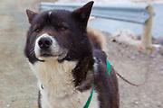 Husky, or sled dog, at the scientific research base of Ny Alesund, Svalbard