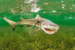 lemon shark, Negaprion brevirostris, with sharksucker, Echeneis naucrates, Little Card Sound, Biscayne Bay, Key Largo, Florida, USA, Atlantic Ocean