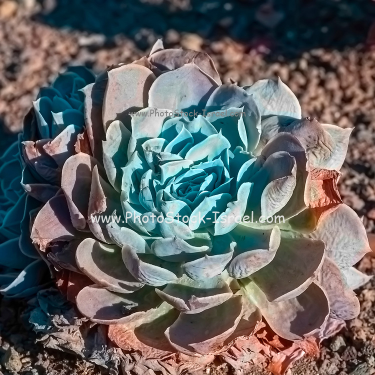 Pacific Blue Ice Sempervivum (houseleek) in a Cactus and succulent garden Photographed in Tel Aviv, Israel in May