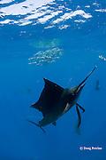 Atlantic sailfish, Istiophorus albicans, pursues an individual sardine that it has knocked out of a bait ball of Spanish sardines (aka gilt sardine, pilchard, or round sardinella ), Sardinella aurita, off Yucatan Peninsula, Mexico ( Caribbean Sea ) #3 in sequence of 3 images