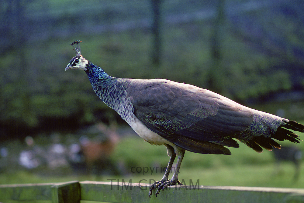 Peahen perched on wooden fence, United Kingdom.