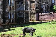 Pig in Gibara, Holguin, Cuba.