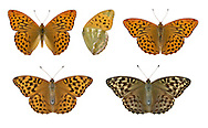 Silver-washed Fritillary - Argynnis paphia - male (top) - typical female (bottom left) - valezina female (bottom right). Wingspan 60mm. An iconic woodland butterfly associated with sunny rides and clearing; adults are often seen feeding on flowers of Bramble and thistles. Adult has orange-brown upperwings with black markings; underside of hindwing has silvery sheen. Flies June–August. Larva feed on violets.  Status Locally common woodland species in S and SW England and Ireland.