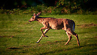 Doe running away. Backyard spring nature in New Jersey. Image taken with a Nikon D810A camera and 80-400 mm VR-II lens (ISO 200, 400 mm, f/7, 1/250 sec).