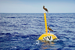 Brown Boobies or `A in Hawaiian, Sula leucogaster plotus, resting on VV FAD buoy (Fish Aggregation Device) which is slanted by strong ocean current, off Kona Coast, Big Island, Hawaii, Pacific Ocean.