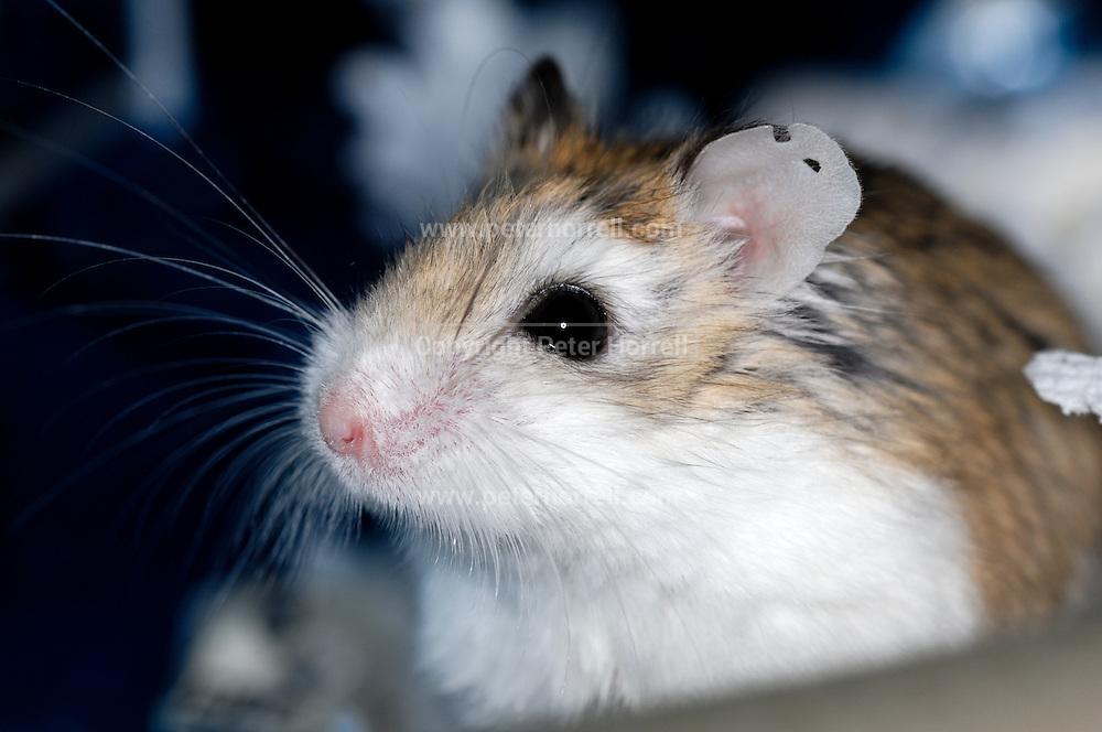 UK, October 17 2010: Dwarf hamster.  Copyright 2010 Peter Horrell