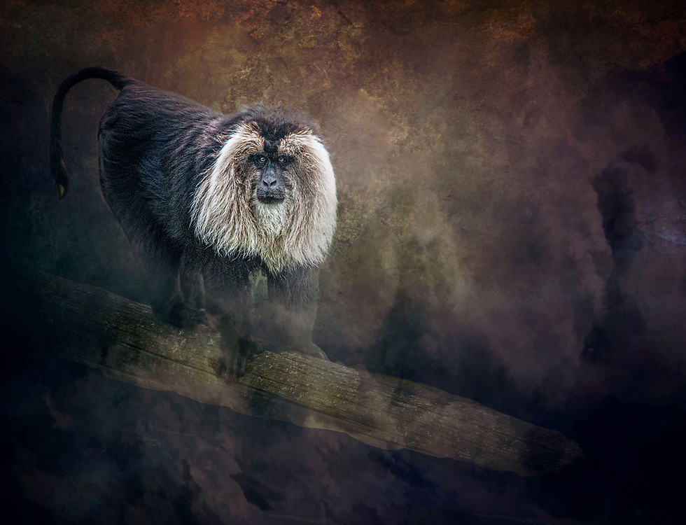 A lion tailed macaque in a zoo in Ireland