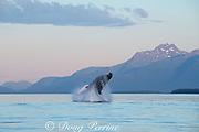 humpback whale, Megaptera novaeangliae, breaching, Saginaw Channel, Inside Passage, near Juneau, southeastern Alaska, USA