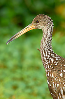 Limpkin Aramus guarauna Arthur R Marshall National Wildlife Reserve Loxahatchee Florida USA