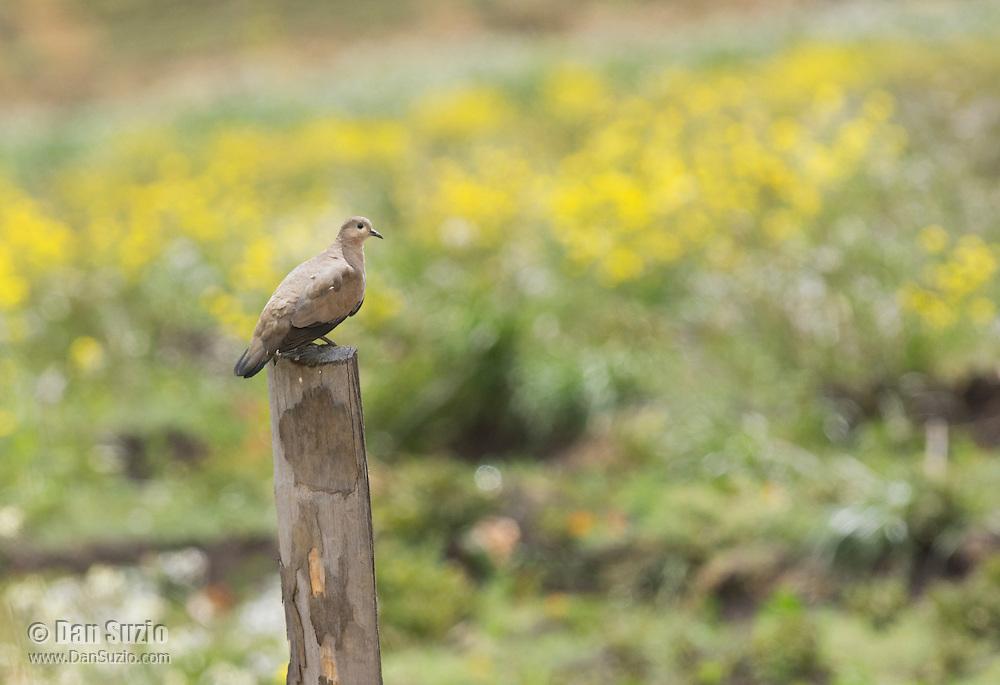 Black-winged ground dove, Metriopelia melanoptera, sits on a fence post at Antisana Ecological Reserve, Ecuador