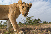 A wide angle close-up portrait of a lioness, Panthera leo, taken with a  remote camera trap.