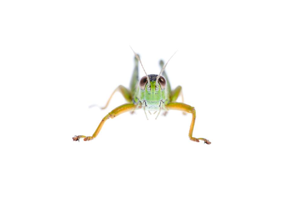IFTE-NB-007966; Niall Benvie; Miramella alpina; grasshopper; Europe; Austria; Tirol; Fliesser Sonnenhänge; invertebrate insect arthropod; horizontal; high key; black green white; controlled; one; upland grassland meadow; 2008; July; summer; backlight strobe; Wild Wonders of Europe Naturpark Kaunergrat