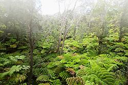 Hapuu Pulu, Hapu`u Pulu or Fern Tree, Cibotium glaucum, and Ohia or `Ohi`a Lehuna, Metrosideros polymorpha, tropical rainforest, Hawaii, USA Volcanoes National Park, Kilauea, Big Island, Hawaii, USA