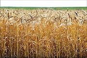 Nederland, Ubbergen, 8-7-2016Een veld met tarwe, graan . Tarweveld,graanveld.Close-up, Detail,stengel,stengels,graanstengelsFoto: Flip Franssen