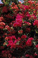 Trinitaria o bugambilia, Bougainvillea spp., Venezuela