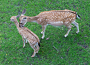 Fallow Deer doe grooms fawn in moat of Munot Castle, Schaffhausen, Switzerland, Europe. Fallow Deer were introduced to the moat of Munot fortress in 1905. Schaffhausen's iconic circular castle was built by forced labor in 1564 after the religious wars of the Reformation.