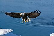 Bald Eagle, Haliaeetus leucocephalus, landing on iceberg, Kenai Peninsula, Homer Spit, Homer, Alaska. Digital original #2006_0827 ©Robin Brandt