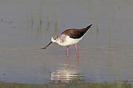 Black-winged Stilt Himantopus himantopus. Spring and early summer are the times when rare waders that breed in Asia turn up here. The Black-winged Stilt Himantopus himantopus is unmistakable with its black and white plumage and ridiculously long, red legs