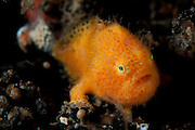 Hairy (Striated) frogfish: Antennarius striatus, this example a juvenile of approx. 5mm length, Lembeh Starit