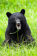 This black bear photo bombed my photo of the single stalk of grass. He thought it was funny