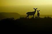 Mule Deer and Fawn at Sunset,Phillip Burton Wilderness, Point Reyes National Seashore, California
