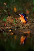 Madagascar kingfisher, Ankarana, Madagascar